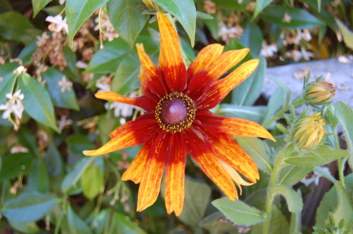 Filoli Summer Closeup Orange Flower
