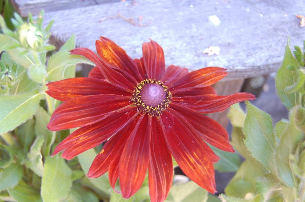 Filoli Summer Closeup Red Flower