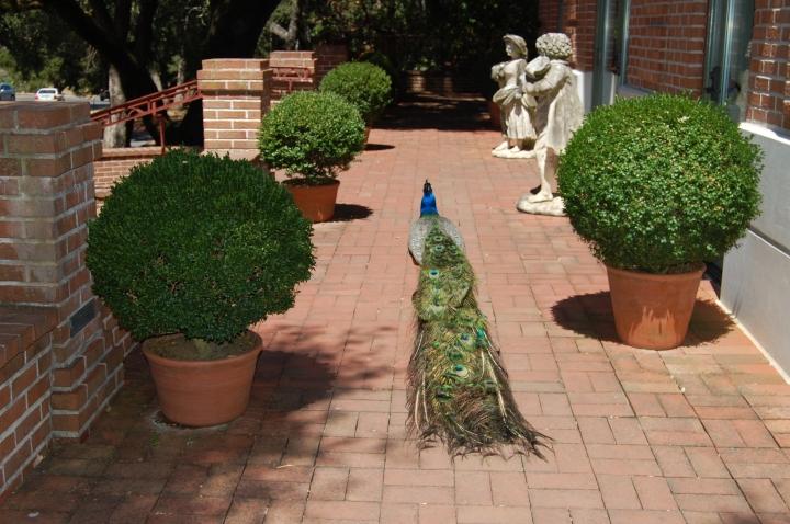 Filoli Summer Peacock