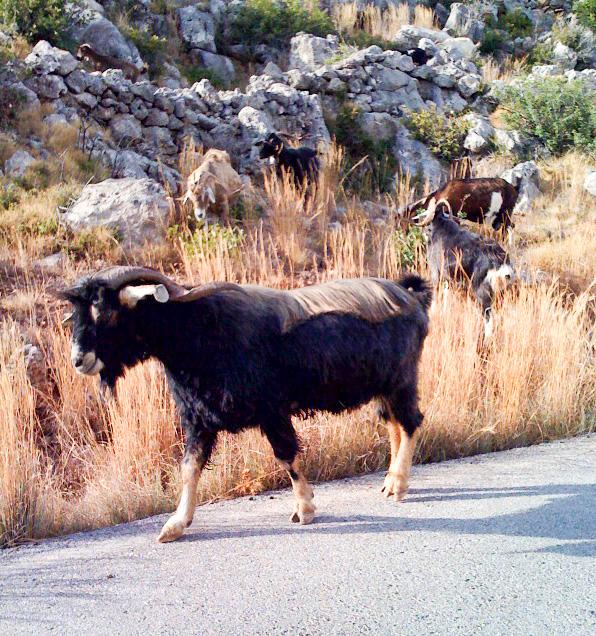 Goat near Monemvasia