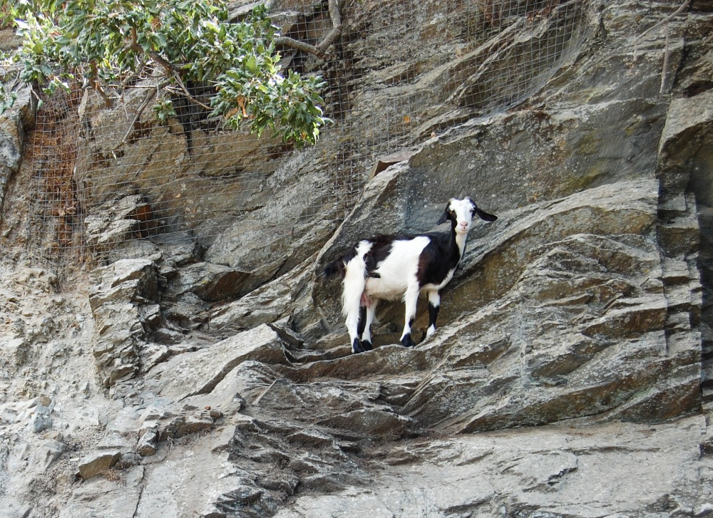 Goat on the edge