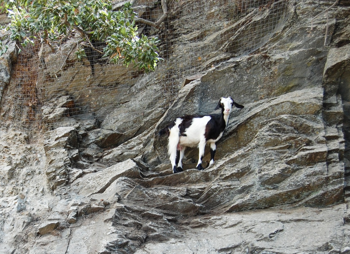 Goat on the edge