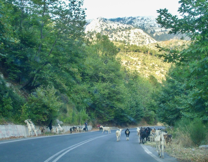 Goats in the Road Peloponnese