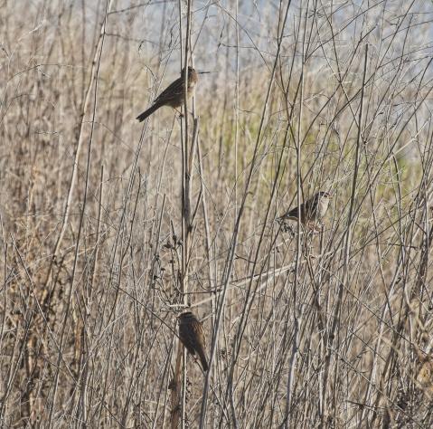 Sparrows at Sandy Wool Lake