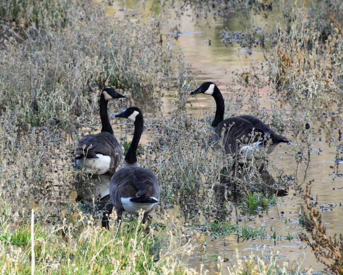 Canada Geese at Sandy Wool Lake