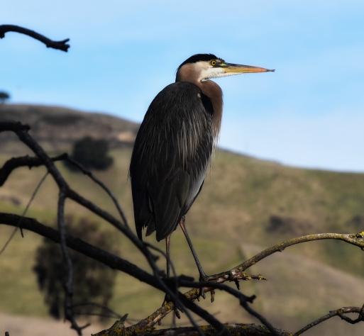 Great Blue Heron at Sandy Wool Lake