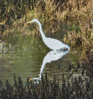 Great Egret at Sandy Wool Lake