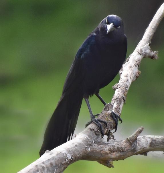 Black Bird at Sandy Wool Lake