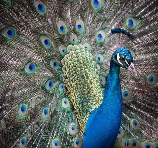 Filoli Peacock Bejeweled