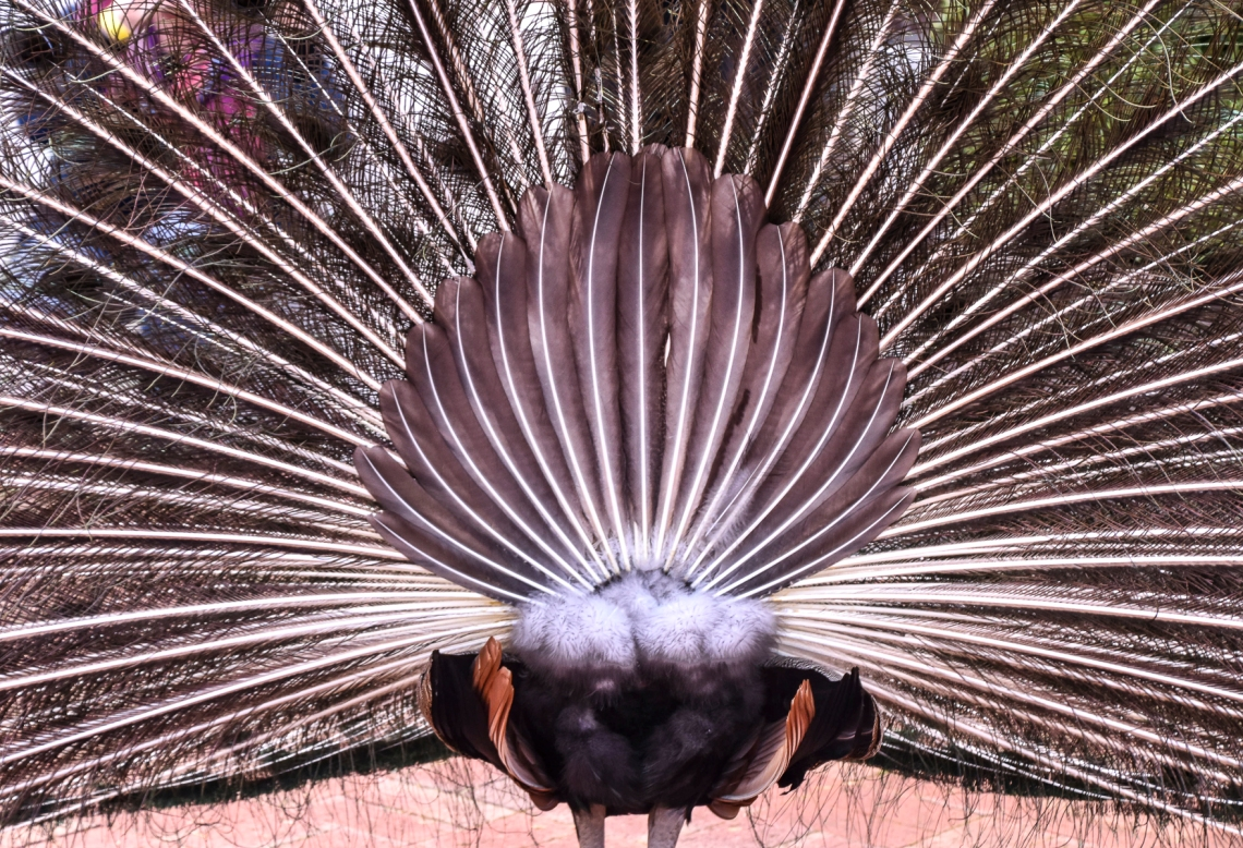 Filoli Peacock Rear View