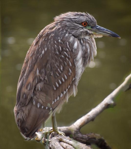 Juvenile Black-Crowned Night Heron at Sandy Wool Lake