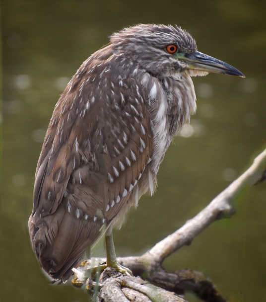 Juvenile Black-Crowned Night Heron at Sandy Wool Lake